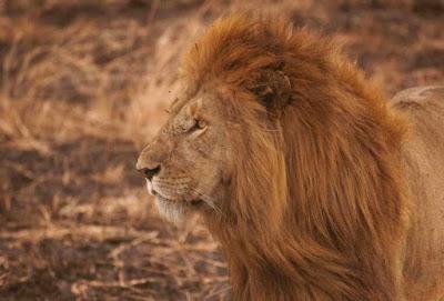 viajes a tanzania para conocer al rey de la selva