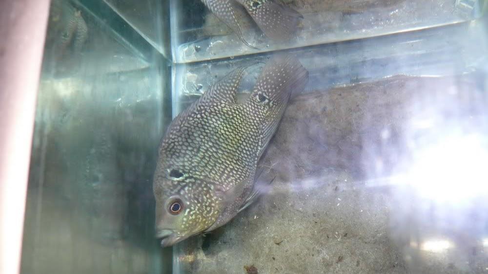 Ciri Ciri Ikan Louhan Stres Dan Ini Cara Merawatnya Agar Kembali Sehat Ikan Hias Air Tawar Laut Dan Aquarium