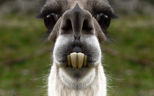 Lg Animated Wallpaper Funny Llama Pictures Funny Wallpaper
