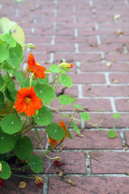 garden, nasturtiums, orange nasturtiums, nasturtium vine, brick patio, Anne Butera, My Giant Strawberry