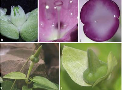 ชมพูไพร พืชชนิดใหม่ของโลก ไม้เลื้อยประดับ ดอกสีชมพูหวาน ออกดอกตลอดปี