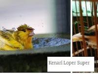 Mengenal Lebih Dekat Burung Kenari Loper (Lokal Super)