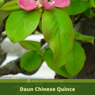 Ciri Ciri Daun Chinese Quince