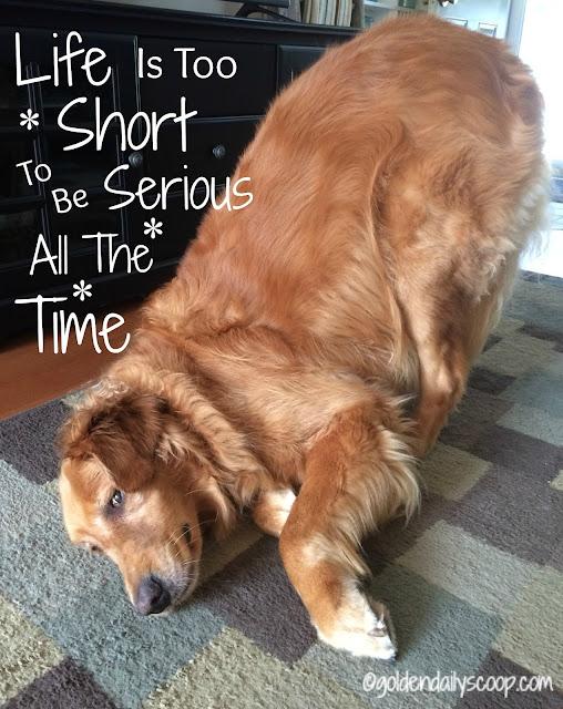 golden retriever dog acting silly