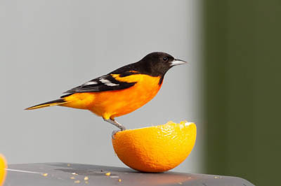 Photo of Baltimore Oriole eating and orange