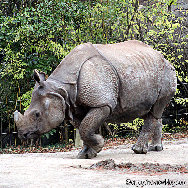 Indian rhino walking