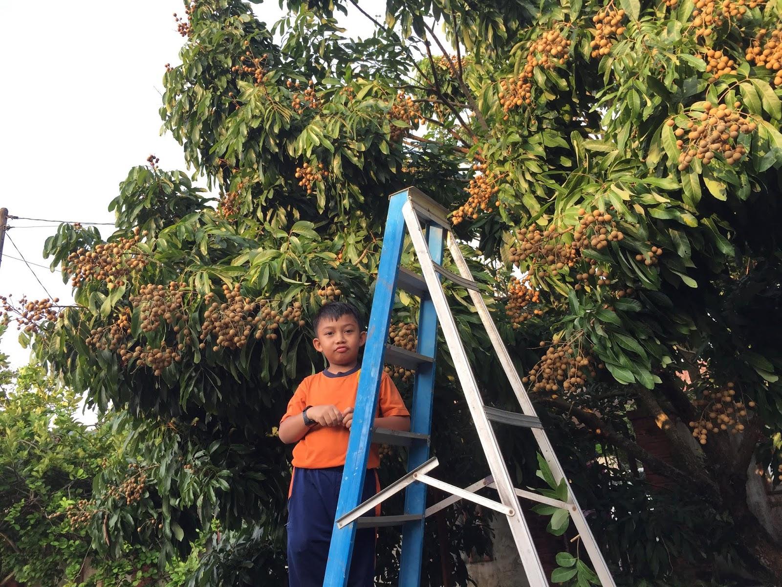 longan atau mata kucing,port lepak, kutip buah-buahan, longan brazil, longan ping pong