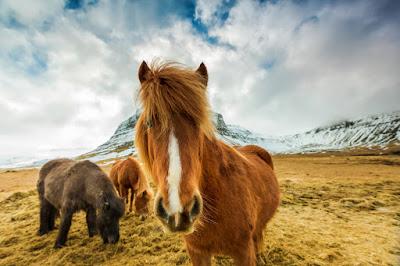 Nobles chevaux islandais