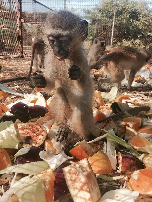 Eine Meerkatze in Mitten von Obst