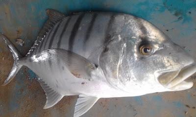 Mancing pakai minnow bisa dapat ikan ini.JPG