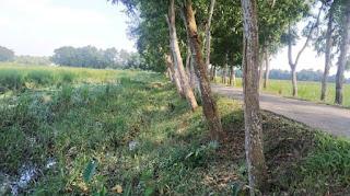 কমলগঞ্জে রাস্তার পাশে লাগানো গাছে ক্ষতিগ্রস্ত হচ্ছে কৃষি
