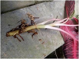 Penyakit pembusukan akar tanaman Aglonema