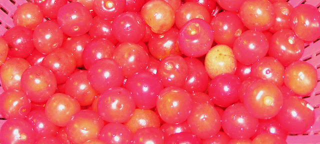 Sour cherries prepared for clafoutis. Photo by Loire Valley Time Travel.