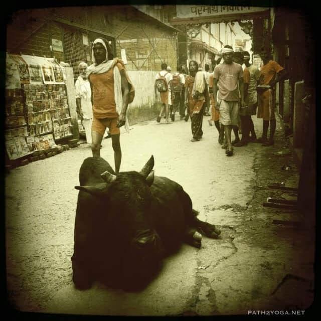 Cow laying down near ashram