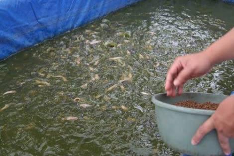 Pakan Ikan Lele