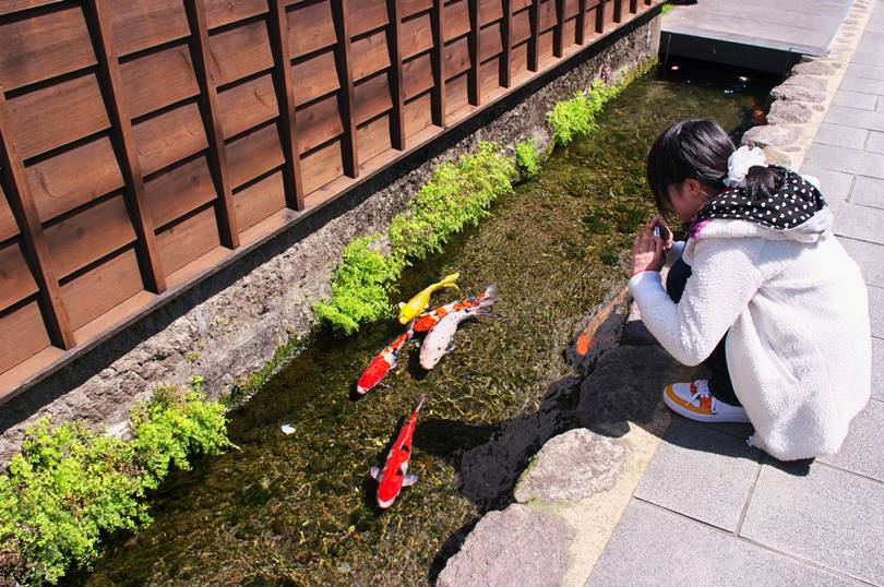 Drainage Canal  is the Home of Colorful Koi Fishes in Japan