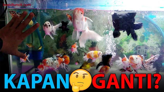 Kapan dan Seberapa Banyak Ganti Air Aquarium Ikan Hias Mas Koki yang Tepat?