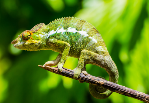 The secret to changing the color of the chameleon, chameleon