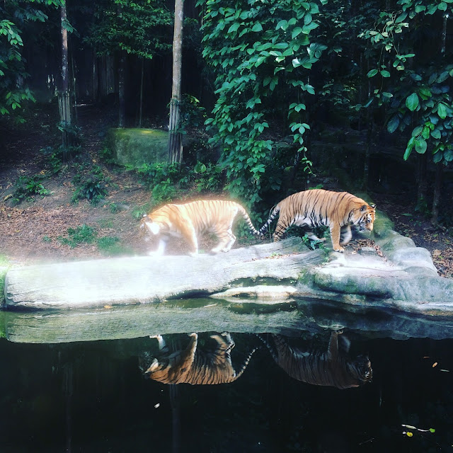 harimau zoo kemaman