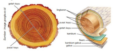 Gambar Lingkaran tahun Pohon