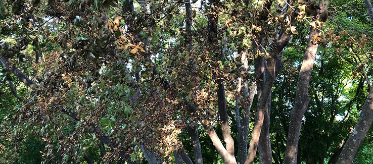 Tree care for diseased and infested trees may require emergency removal