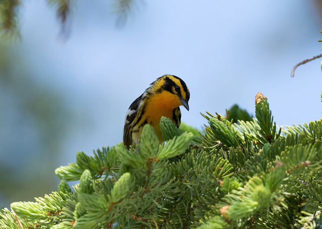 Blackburnian Warbler - Hulbert Bog, Michigan, USA