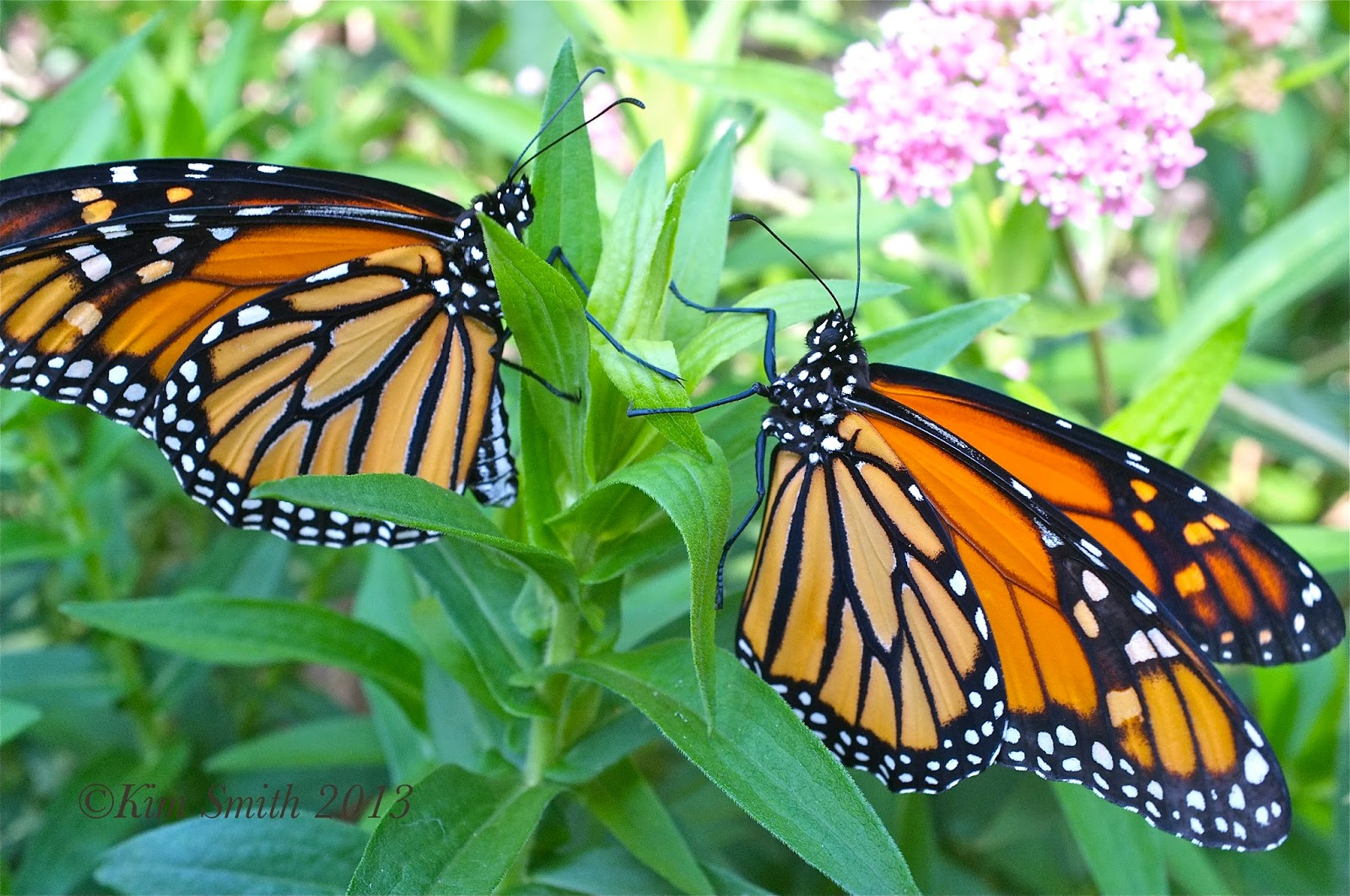 Backyard Patch Herbal Blog: Where are the Monarch's?