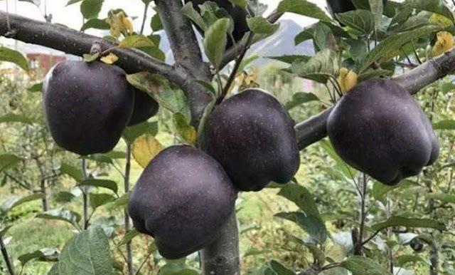 Αυτό είναι το μοναδικό μέρος του κόσμου που καλλιεργούνται τα σπάνια μαύρα μήλα
