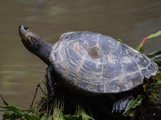 habitat-kura-kura-asli.jpg