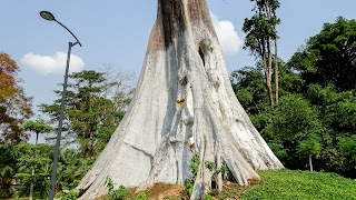 Nature has placed a fat tree in Equatorial Guinea