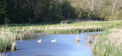The resident swans @ Hendrie Park, RBG, Burlington, ON :: All Pretty Things