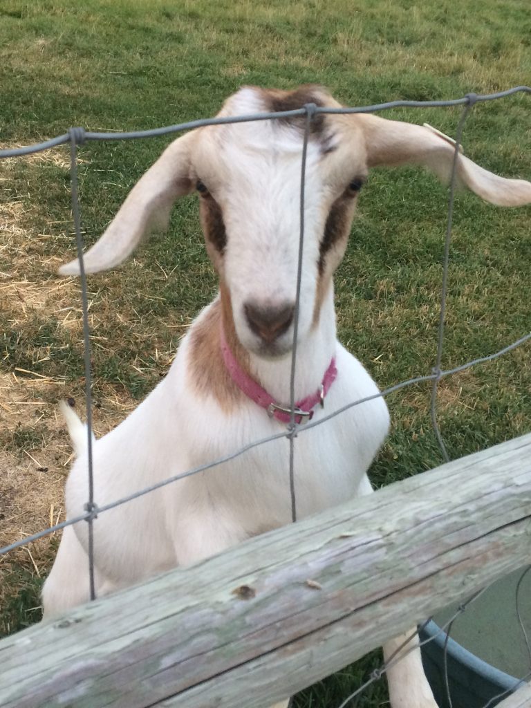 2 Eagles Ranch: Goats for Sale