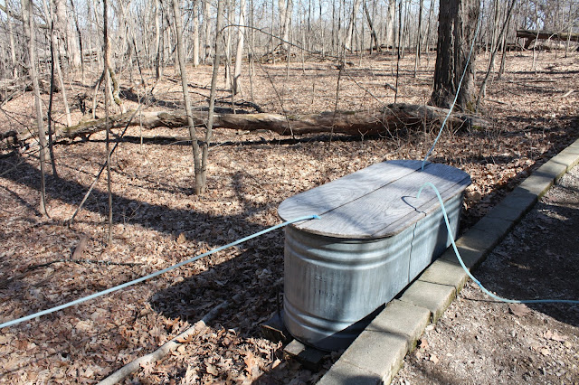 Trough collecting maple sap at Coral Woods in Marengo, Illinois