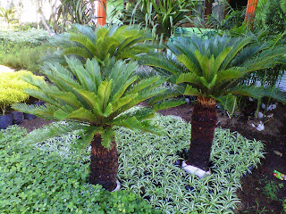 Sikas - tanaman sikas, cara menanam sikas, sikas revoluta, harga sikas, perawatan tanaman sikas, cycas revoluta prices, cycas revoluta thunb, jual revoluta, jual cycas, cycas revoluta care, cycas revoluta diseases, cycas revoluta yellow leaves, cycas revoluta propagation - 29 Jenis Tanaman yang Sering Dijadikan Penghias Taman - honaylandscape.blogspot.com