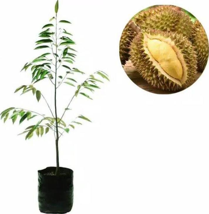 Bibit durian tembaga Sukabumi