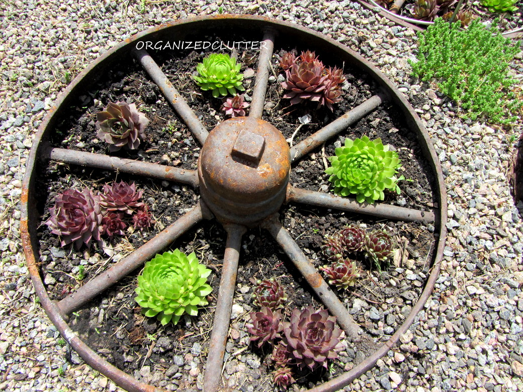 Hauswurz Steingarten A Dozen Fun Ways To Plant Hen And Chicks Sempervivum