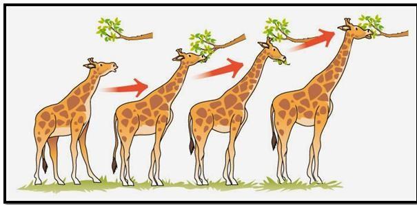 Jerapah semakin panjang lehernya teori evolusi lamark