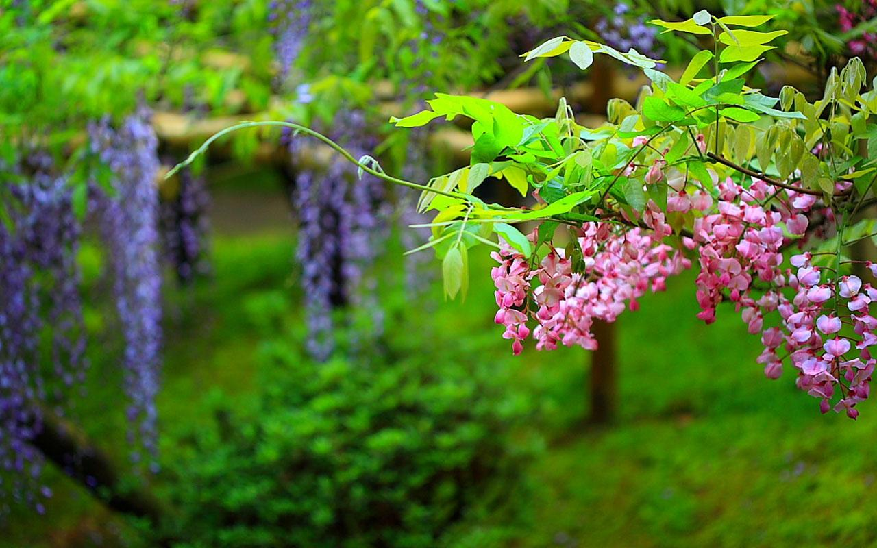 Cute Babies Pics Wallpaper Images Sun Shines Wisteria Flowers Wallpapers