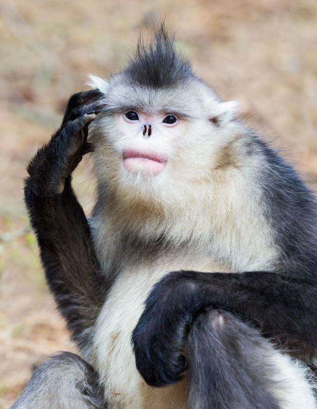 Πίθηκος… χωρίς μύτη