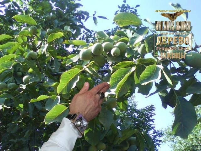 Саженцы скороплодного ореха идеал купить в Украине