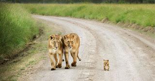 Foto retangular de uma família em passeio ao ar livre em dia claro. Na curva de um estreito caminho de terra ladeado por capim alto, um leão sem juba caminha bem coladinho ao lado da leoa, ritmados com passadas iguais, ambos atentos observam à direita, o filhotinho que caminha sozinho à frente.