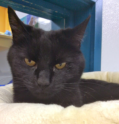 all black cat in animal shelter