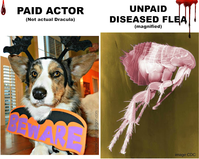 corgi on left dressed like vampire and a magnified photo of a flea on right