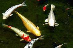 13 Jenis Ikan Koi Yang Bagus Untuk Dipelihara