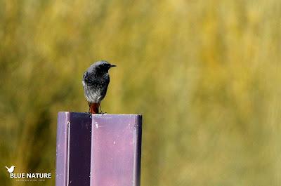 Macho de colirrojo tizón (Phoenicurus ochruros) sobre una señal de vía pecuaria. En esta especie existe cierto dimorfismo sexual. Ambos sexos tienen la cola rojiza y el resto del plumaje de tonos grises. En los machos además la cara y el pecho son de color negro, como en este caso.