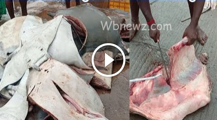 200 கிலோ எடை கொண்ட ராட்சத மீன் வெட்டும் காட்சி காசிமேடு
