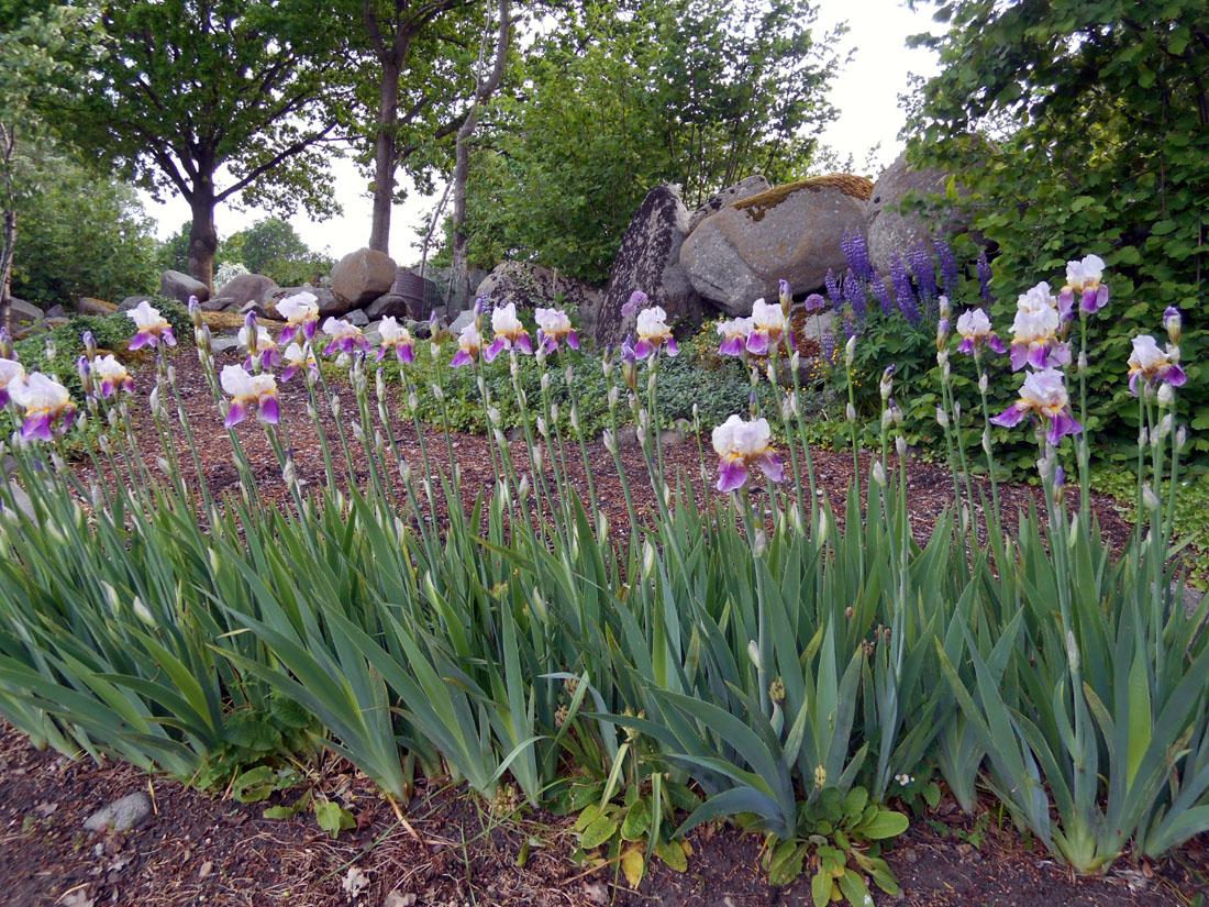 Iris in fiore