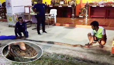 Ular king kobra saat diukur di lantai