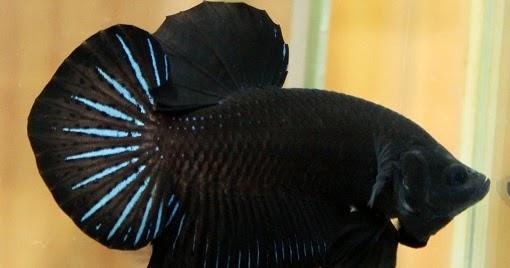 1 Power Jual Ikan Cupang Di Tangerang Harga Murah