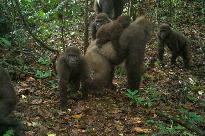 World's rarest species of gorillas seen in Cross River state (Photos)